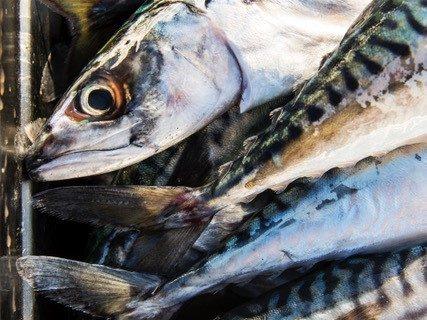 Mackerel Catch