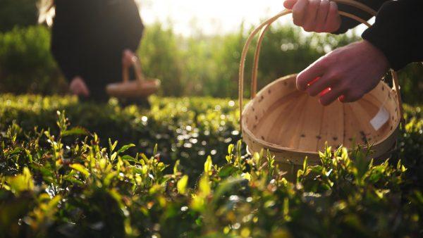 Picking tregothnan tea